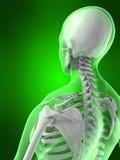 骨骼女性的脖子 免版税库存图片