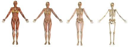 骨骼解剖学的女性 免版税图库摄影