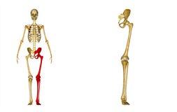 骨骼:左腿骨头:臀部、股骨、胫骨、腓骨、脚腕和脚骨头 免版税库存照片