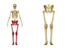骨骼:臀部、股骨、胫骨、腓骨、脚腕和脚骨头 免版税图库摄影