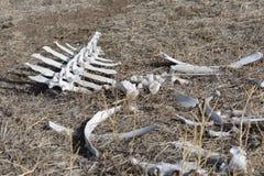 白色中坚和在狂放的各种各样的干燥骨头 免版税库存图片