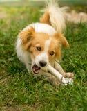 骨头逗人喜爱的狗 免版税库存照片
