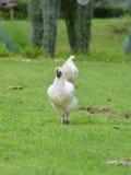 黑骨头鸡 库存图片