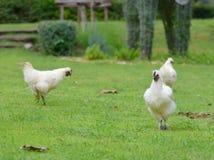 黑骨头鸡 免版税图库摄影