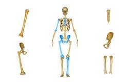 骶骨、肱骨、股骨、胫骨和腓骨,骨盆或熟悉内情 图库摄影