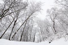 高不生叶的结构树在冬天 库存照片