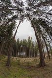 高云杉的底视图与白点透镜的 免版税库存图片