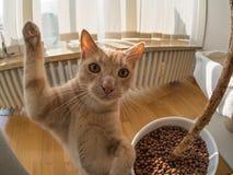 高五一只棕色猫 库存照片