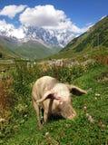 高加索什哈拉山山和猪 免版税库存图片