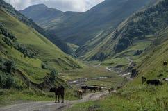 高加索山脉,额尔古纳峡谷  向Shatili的路与母牛, 图库摄影