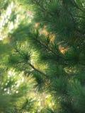 高加索dombai横向本质夏天 雪松雪松的森林分支 免版税库存图片