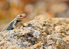 高原边的blotched蜥蜴 免版税图库摄影