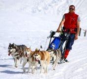 国际种族拉雪橇狗,青苔,瑞士 图库摄影