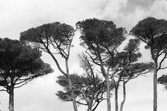高叶状体和海杉木的雄伟 免版税库存图片