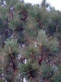 高喜马拉雅杉木/50的脚, 35英尺宽 库存照片