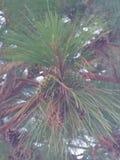高喜马拉雅杉木/50的脚, 35英尺宽 图库摄影