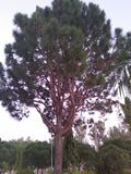 高喜马拉雅杉木/50的脚, 35英尺宽 免版税库存图片