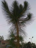 高喜马拉雅杉木/50的脚, 35英尺宽 免版税图库摄影