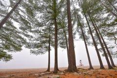 高在雾在一个有雾的秋天11月早晨围拢的杉木和云杉 免版税图库摄影