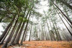 高在雾在一个有雾的秋天11月早晨围拢的杉木和云杉 图库摄影