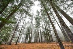 高在雾在一个有雾的秋天11月早晨围拢的杉木和云杉 免版税库存图片