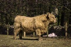 高地公牛 库存图片
