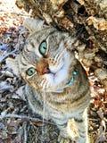 高地天猫座猫逗人喜爱的表示 库存照片