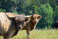 高地小牛和母牛 库存图片