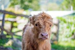 高地小牛缺乏信心对照相机 图库摄影