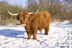 高地居民苏格兰人 库存照片