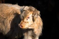 高地居民苏格兰母牛小牛有黑背景 免版税库存图片