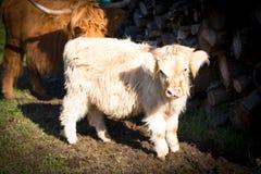 高地居民 苏格兰母牛小牛 库存图片