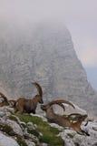 高地山羊其它 免版税库存照片