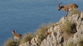 高地山羊古西班牙人 影视素材