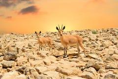 高地山羊和日落 库存照片