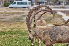 高地山羊在Mitzpe拉蒙,以色列 免版税库存图片