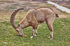 高地山羊在Mitzpe拉蒙,以色列 库存图片