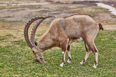 高地山羊在Mitzpe拉蒙,以色列 库存照片
