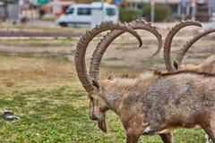高地山羊在Mitzpe拉蒙,以色列 免版税库存照片