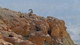 高地山羊在Sde Boker,以色列 免版税库存图片
