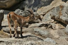 高地山羊战斗在落矶山脉区域 免版税库存照片