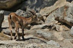 高地山羊战斗在落矶山脉区域 免版税库存图片