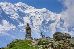 高地山羊,勃朗峰,法国阿尔卑斯的范围 免版税库存照片