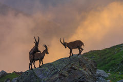高地山羊,勃朗峰,法国阿尔卑斯的范围 库存图片