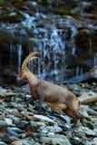高地山羊,山羊属高地山羊,与色的岩石的鹿角高山动物与瀑布在背景中,动物在石自然栖所, Switz 库存照片
