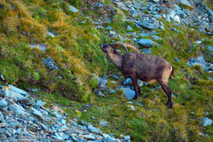 高地山羊,山羊属高地山羊,与色的岩石的鹿角高山动物在背景中,动物在石自然栖所,法国 库存图片