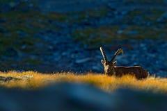 高地山羊,山羊属高地山羊,与色的岩石的鹿角高山动物在背景中,动物在石自然栖所,美好的早晨su 免版税库存照片