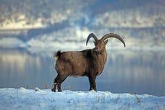 高地山羊 免版税库存照片