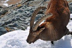 高地山羊 库存图片
