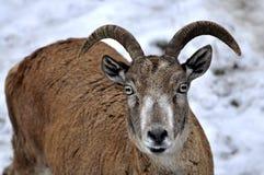 高地山羊 免版税图库摄影